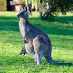 LM・オーストラリア高配当株ファンドの評価!徐々に人気が高まってる?